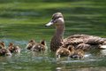 Mother Duck With Ducklings On Lake Royalty Free Stock Image - 42037686