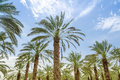 High Figs Date Palm Trees In Middle East Orchard Stock Photo - 42043620