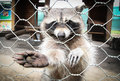 Raccoon Royalty Free Stock Images - 42050019