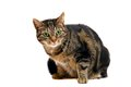 Large Adult Tabby Cat On White Royalty Free Stock Photography - 42058907