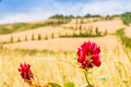 Red Flower And Winding Road In Crete Senesi Tuscany, Italy Royalty Free Stock Photography - 42063497
