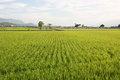 Pearl Rice And Wheat Farm At Mr Brown Avenue In Tai Tung Royalty Free Stock Photography - 42068387