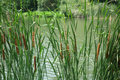 Cattail Royalty Free Stock Photo - 42079195