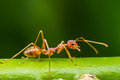 Red Ant Stock Photos - 42099613
