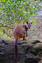 Brush-tailed Rock Wallaby Stock Photography - 42135872