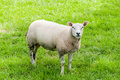 Sheep In A Pasture Royalty Free Stock Image - 42143206