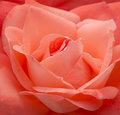 Salmon Pink Rose Stock Photography - 42143822