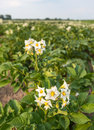 White Flowers With Yellow Stamens Of Potato Plants Stock Images - 42160434