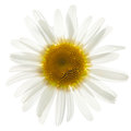Ox Eye Daisy Royalty Free Stock Images - 42186219