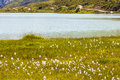 Cotton Grass By Lake Royalty Free Stock Image - 42198326