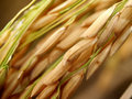 Rice And Hand 02 Stock Image - 4220871