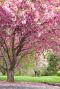 Pink Flowering Cherry Trees Royalty Free Stock Photos - 4225438