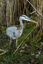 Great Blue Heron Royalty Free Stock Photography - 4226647