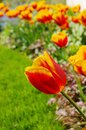 Tulip Red Yellow Stock Photography - 42209282