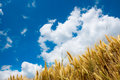 Gold Wheat Royalty Free Stock Images - 42218459