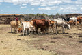 Maasai Cattle Royalty Free Stock Photography - 42235477