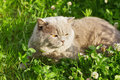 Lilac British Cat Sitting On A Floral Green Lawn Royalty Free Stock Photography - 42240757