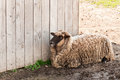 Sheep On Farm Royalty Free Stock Photos - 42244578