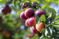 Plums On The Tree Stock Images - 42273444