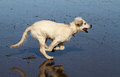 Young Dog Running. Royalty Free Stock Image - 42287906