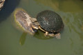 Eastern Long-necked Turtle Stock Photography - 42294792