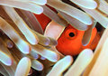 Clownfish Hiding In An Anemone Royalty Free Stock Photography - 42297227