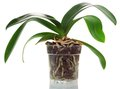 Orchid In A Pot Royalty Free Stock Image - 42303366