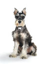 Cute Miniature Schnauzer Puppy Dog On White Background Royalty Free Stock Photos - 42313118