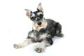 Cute Miniature Schnauzer Puppy Dog On White Background Stock Images - 42313124