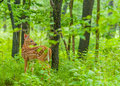 Whitetail Deer Fawn Royalty Free Stock Photo - 42344025