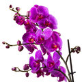 Purple Orchid Flower On White Background Royalty Free Stock Image - 42357556