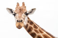Giraffe Head Looking At Camera Against White Sky Royalty Free Stock Images - 42367259