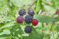Wild Raspberries In The Woods Royalty Free Stock Photos - 42369538