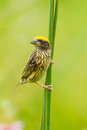 Portrait Of Streaked Weaver Royalty Free Stock Images - 42379539