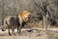 Lion Looking At Camera Yawning South Africa Stock Photos - 42383983