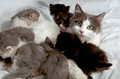 Siberian Cat With Kittens. Stock Photo - 42384000