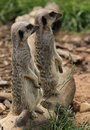 Meerkats Standing Stock Photo - 42398860
