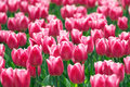 Pink Tulip Flowers Field Stock Photo - 4248680