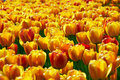 Yellow-red Tulip Flowers Field Royalty Free Stock Photography - 4248777
