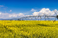 Yellow Canola Rapeseed Fields In Bloom Royalty Free Stock Images - 42406259