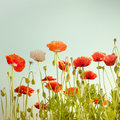 Wild Poppy Flowers On Summer Meadow. Floral Background Stock Image - 42412151