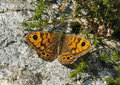 Wall Brown Butterfly Royalty Free Stock Image - 42417866