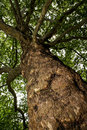 European Ash (Fraxinus Excelsior) - View From The Bottom Up Royalty Free Stock Photos - 42462668