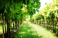 Vineyards Royalty Free Stock Images - 42468529