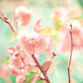 Soft Cherry Blossoms Stock Image - 42476061