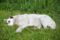 Stray Dog Lying On The Grass Royalty Free Stock Image - 42480606