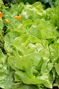 Close-up Of Lettuce In A Garden Field. Stock Photos - 42491043