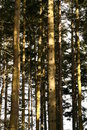 Tall Forest Royalty Free Stock Images - 4250809