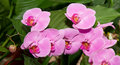 Pink Orchid Stock Photos - 4257723
