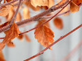 Lingering Frosty Autumn Leaves Stock Images - 4259794
